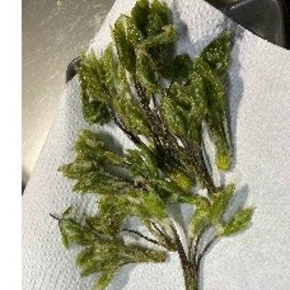 コシアブラ(山菜)天麩羅