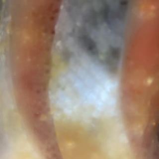 甘鮭の冷凍保存