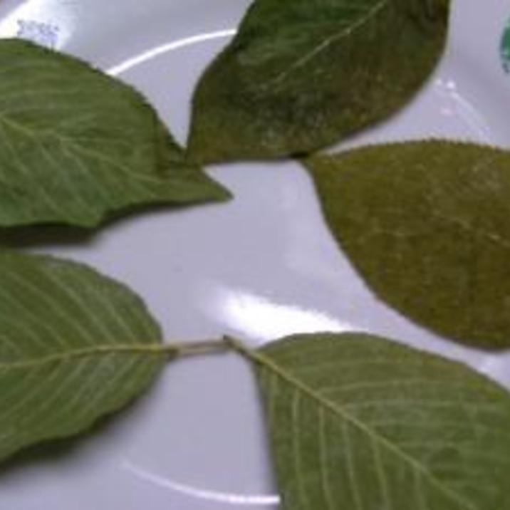 桜の葉っぱの塩漬け