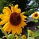 craspedia-yellowball