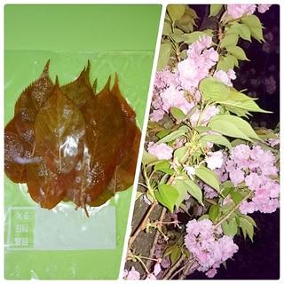 八重桜の葉☆保存方法