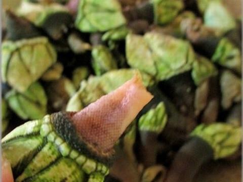 漁師のおやつ? 珍しい貝 カメノテ(亀の手)